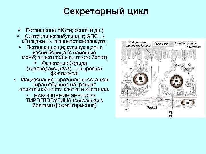 Секреторный цикл • Поглощение АК (тирозина и др. ) • Синтез тироглобулина: гр. ЭПС