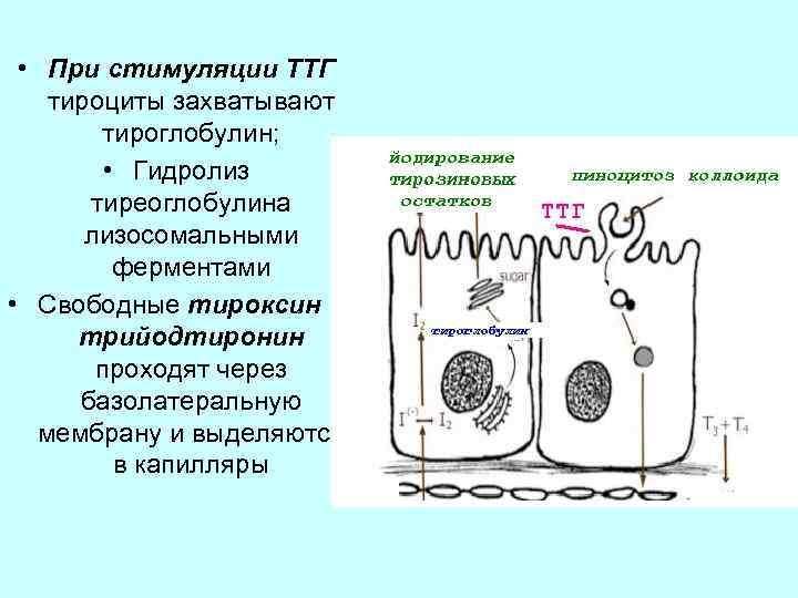 • При стимуляции ТТГ тироциты захватывают тироглобулин; • Гидролиз тиреоглобулина лизосомальными ферментами •