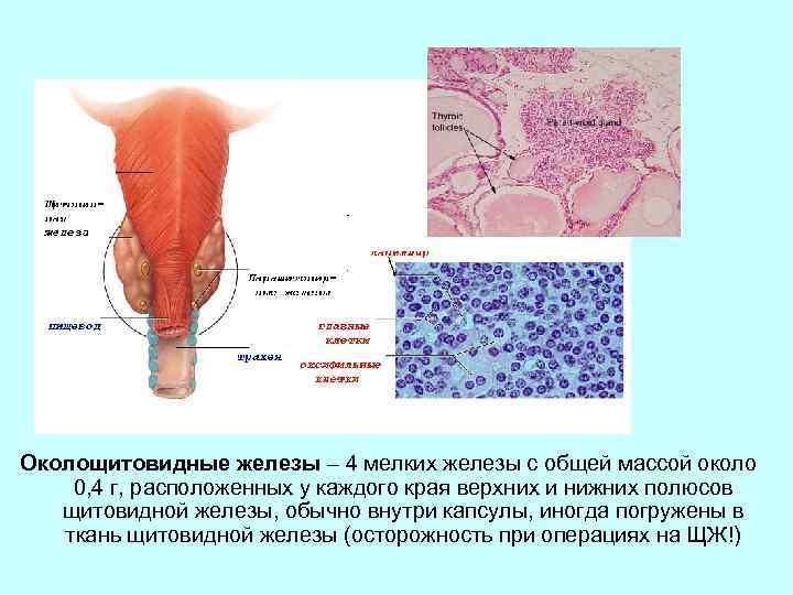 Околощитовидные железы – 4 мелких железы с общей массой около 0, 4 г, расположенных