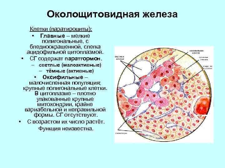 Околощитовидная железа Клетки (паратироциты): • Главные – мелкие полигональные, с бледноокрашенной, слегка ацидофильной цитоплазмой.