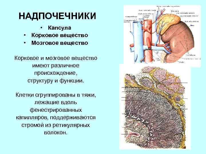 НАДПОЧЕЧНИКИ • Капсула • Корковое вещество • Мозговое вещество Корковое и мозговое вещество имеют