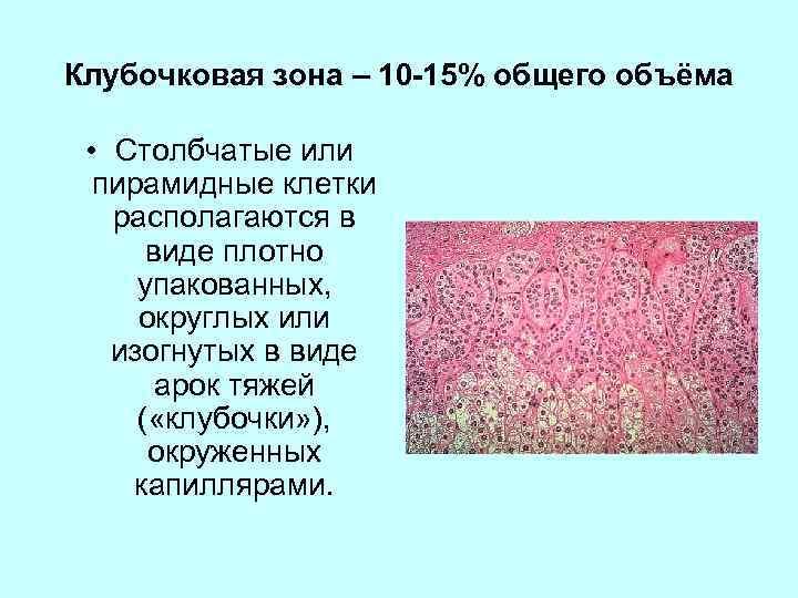 Клубочковая зона – 10 -15% общего объёма • Столбчатые или пирамидные клетки располагаются в
