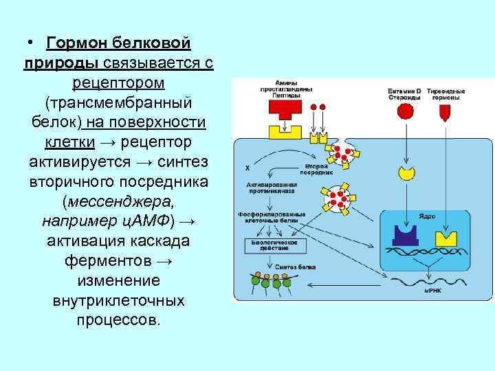 • Гормон белковой природы связывается с рецептором (трансмембранный белок) на поверхности клетки →