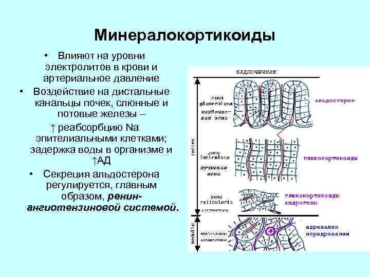 Минералокортикоиды • Влияют на уровни электролитов в крови и артериальное давление • Воздействие на