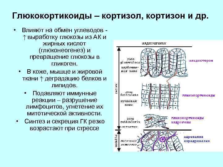Глюкокортикоиды – кортизол, кортизон и др. • Влияют на обмен углеводов ↑ выработку глюкозы