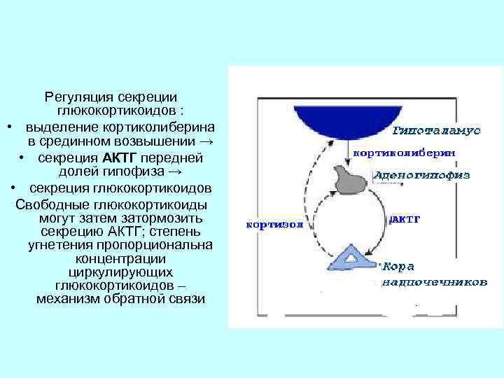 Регуляция секреции глюкокортикоидов : • выделение кортиколиберина в срединном возвышении → • секреция АКТГ