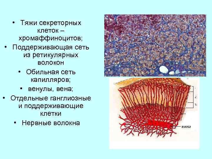 • Тяжи секреторных клеток – хромаффиноцитов; • Поддерживающая сеть из ретикулярных волокон •