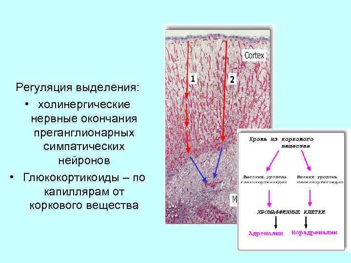 Регуляция выделения: • холинергические нервные окончания преганглионарных симпатических нейронов • Глюкокортикоиды – по капиллярам