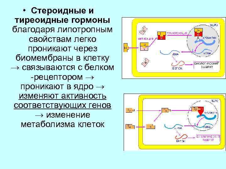 • Стероидные и тиреоидные гормоны благодаря липотропным свойствам легко проникают через биомембраны в