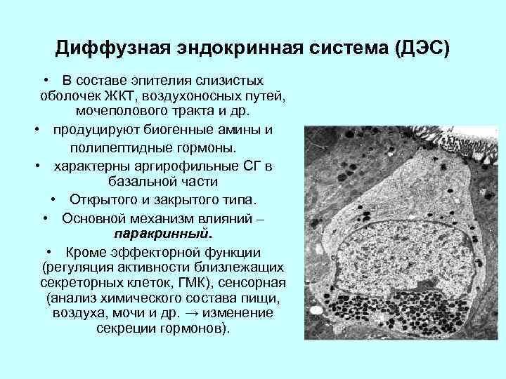 Диффузная эндокринная система (ДЭС) • В составе эпителия слизистых оболочек ЖКТ, воздухоносных путей, мочеполового