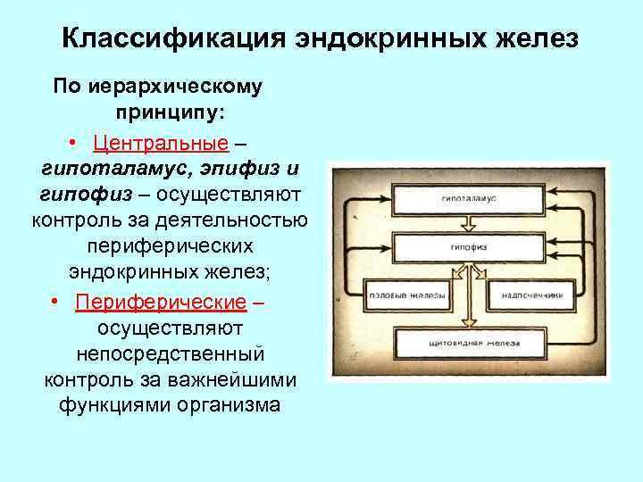 Классификация эндокринных желез По иерархическому принципу: • Центральные – гипоталамус, эпифиз и гипофиз –