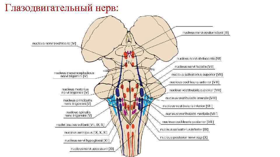 Глазодвигательный нерв: