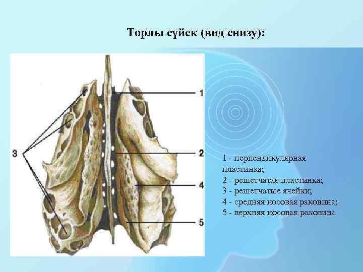 Торлы сүйек (вид снизу): 1 - перпендикулярная пластинка; 2 - решетчатая пластинка; 3 -