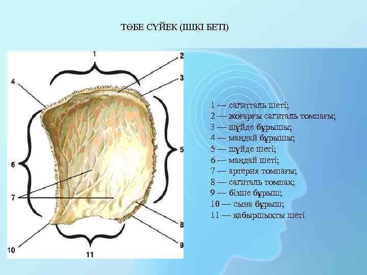 ТӨБЕ СҮЙЕК (ІШКІ БЕТІ) 1 — сагитталь шеті; 2 — жоғарғы сагиталь томпағы; 3