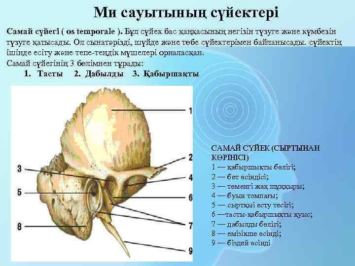 Ми сауытының сүйектері Самай сүйегі ( os temporale ). Бұл сүйек бас қаңқасының негізін