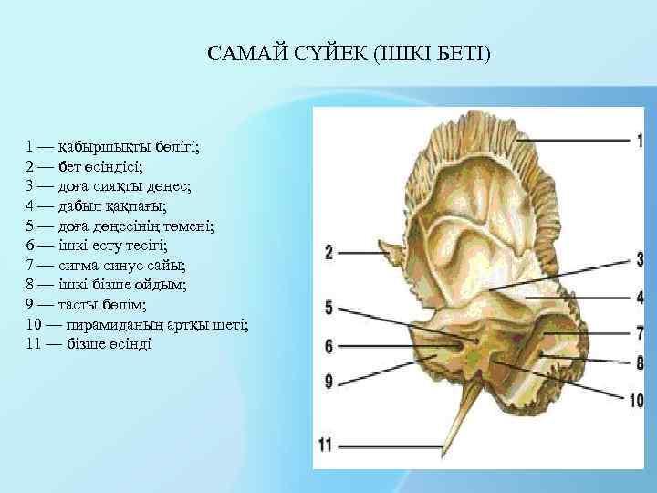 САМАЙ СҮЙЕК (ІШКІ БЕТІ) 1 — қабыршықты бөлігі; 2 — бет өсіндісі; 3 —