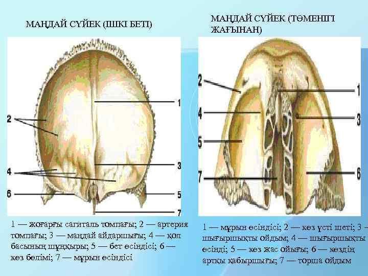 МАҢДАЙ СҮЙЕК (ІШКІ БЕТІ) 1 — жоғарғы сагиталь томпағы; 2 — артерия томпағы; 3