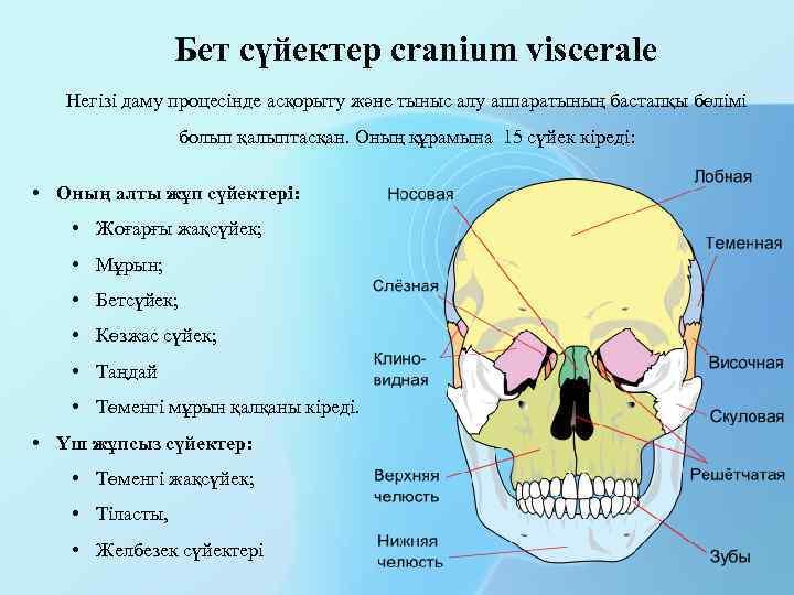 Бет сүйектер cranium viscerale Негізі даму процесінде асқорыту және тыныс алу аппаратының бастапқы бөлімі
