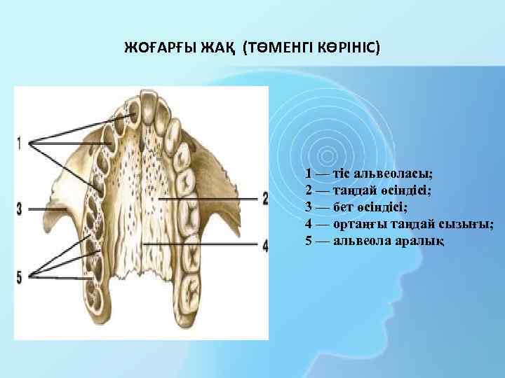 ЖОҒАРҒЫ ЖАҚ (ТӨМЕНГІ КӨРІНІС) 1 — тіс альвеоласы; 2 — таңдай өсіндісі; 3 —