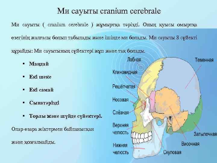Ми сауыты cranium cerebrale Ми сауыты ( cranium cerebrale ) жұмыртқа тәрізді. Оның қуысы