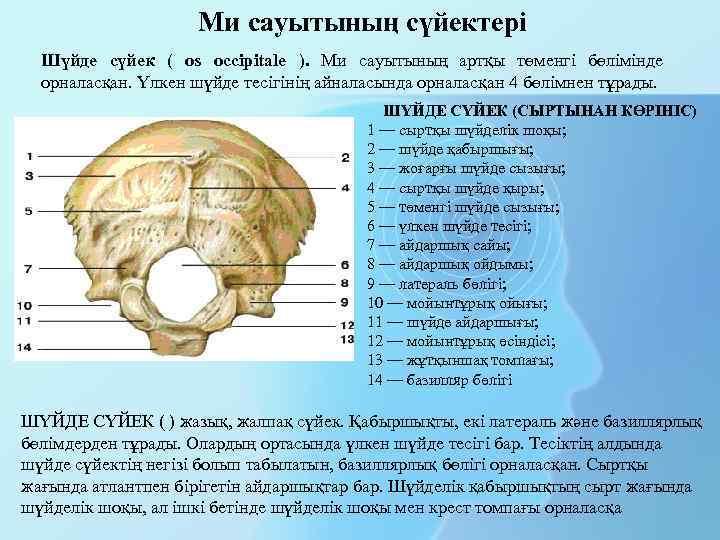 Ми сауытының сүйектері Шүйде сүйек ( os occipitale ). Ми сауытының артқы төменгі бөлімінде