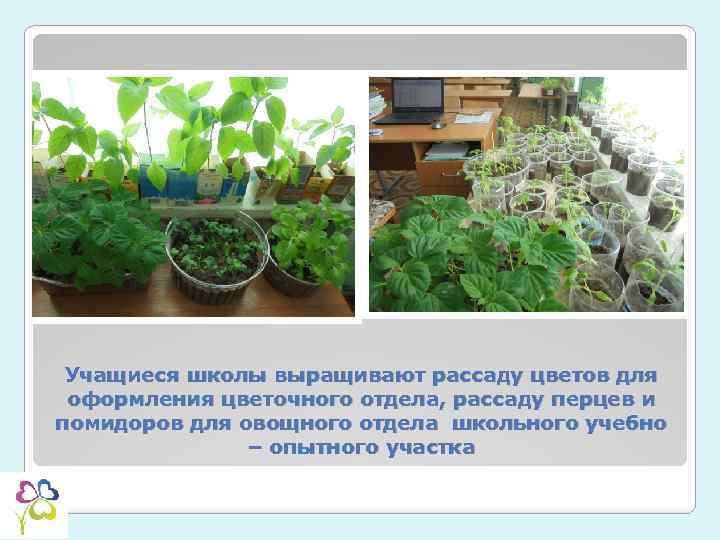 Учащиеся школы выращивают рассаду цветов для оформления цветочного отдела, рассаду перцев и помидоров для