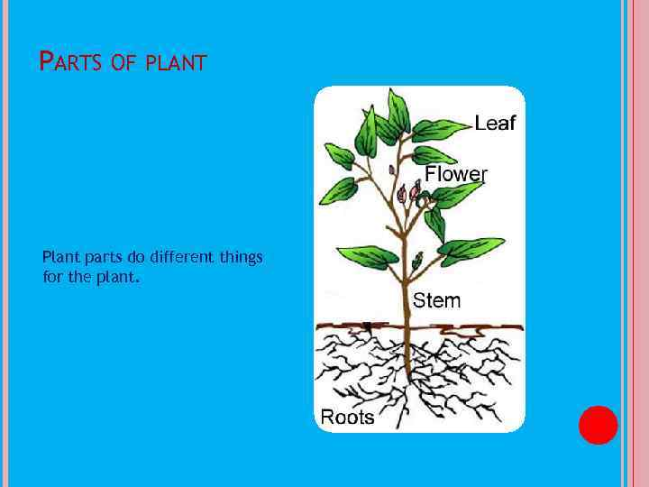 PARTS OF PLANT Plant parts do different things for the plant.