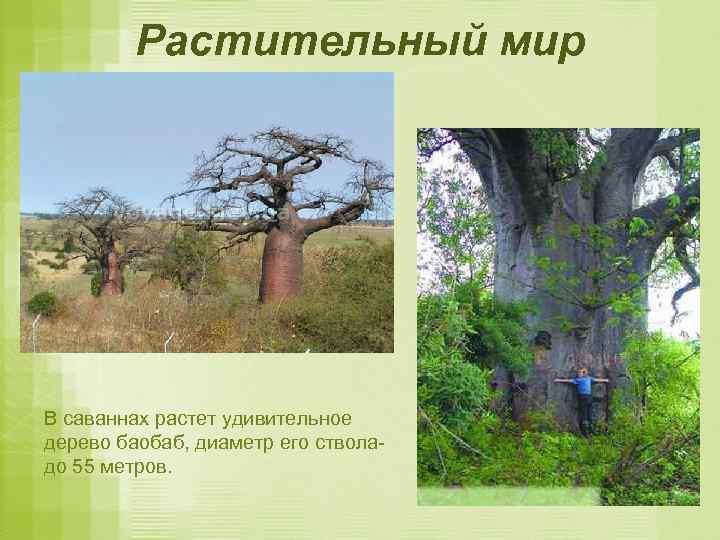Растительный мир В саваннах растет удивительное дерево баобаб, диаметр его стволадо 55 метров.