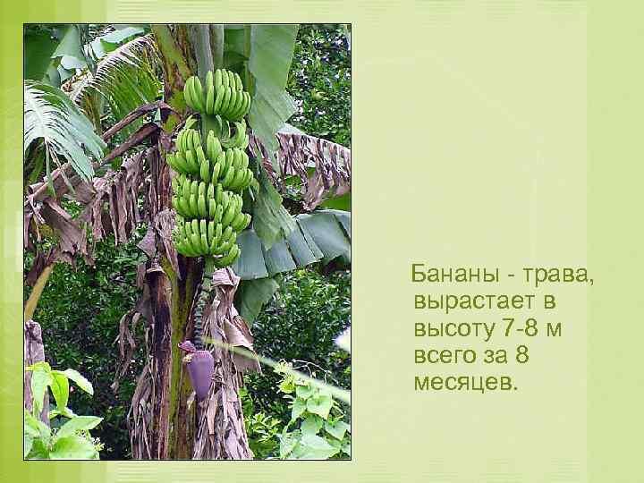 Бананы - трава, вырастает в высоту 7 -8 м всего за 8 месяцев.