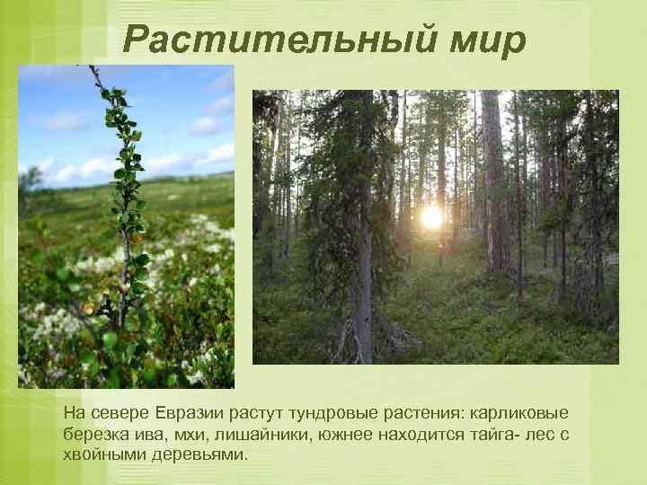 Растительный мир На севере Евразии растут тундровые растения: карликовые березка ива, мхи, лишайники, южнее