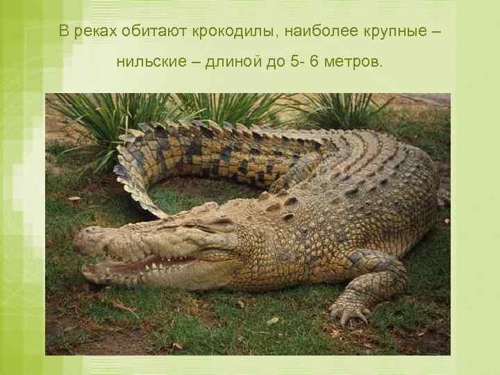 В реках обитают крокодилы, наиболее крупные – нильские – длиной до 5 - 6