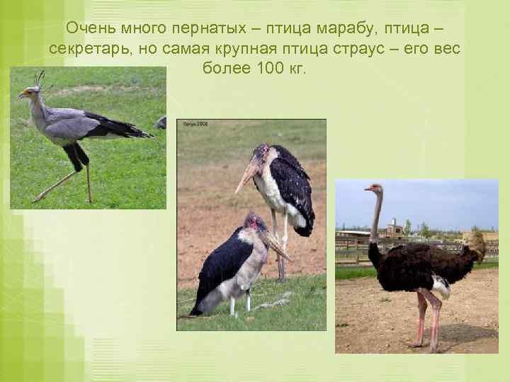 Очень много пернатых – птица марабу, птица – секретарь, но самая крупная птица страус