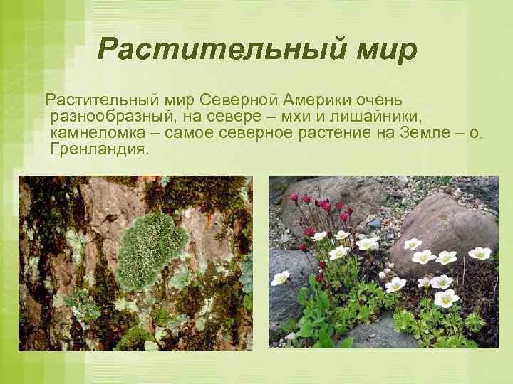 Растительный мир Северной Америки очень разнообразный, на севере – мхи и лишайники, камнеломка –