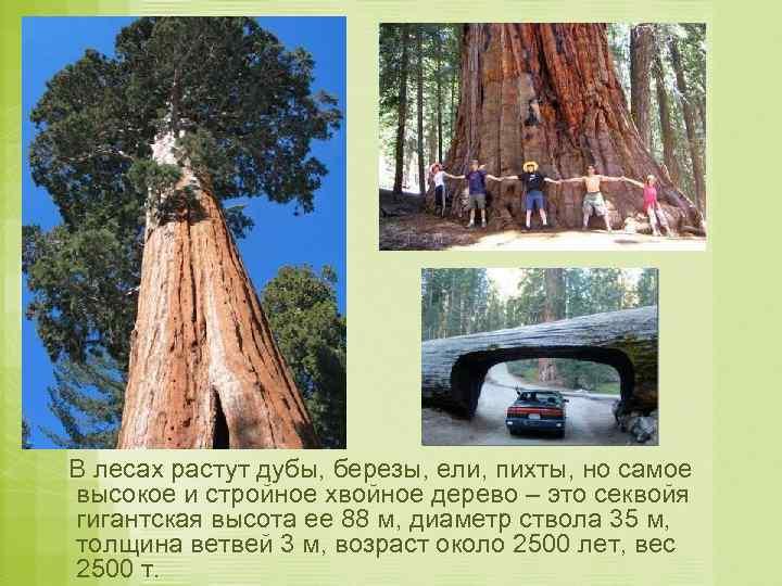 В лесах растут дубы, березы, ели, пихты, но самое высокое и стройное хвойное дерево