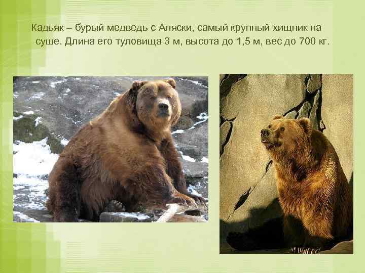 Кадьяк – бурый медведь с Аляски, самый крупный хищник на суше. Длина его туловища