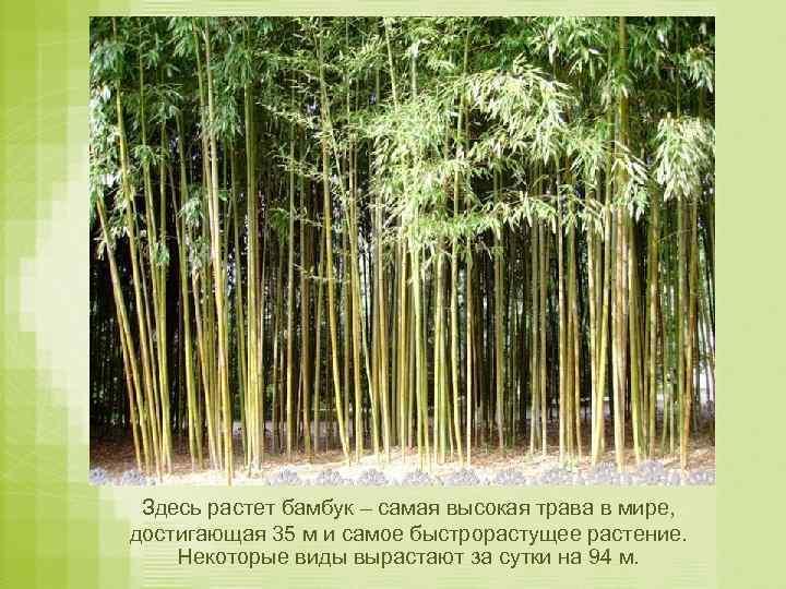 Здесь растет бамбук – самая высокая трава в мире, достигающая 35 м и самое