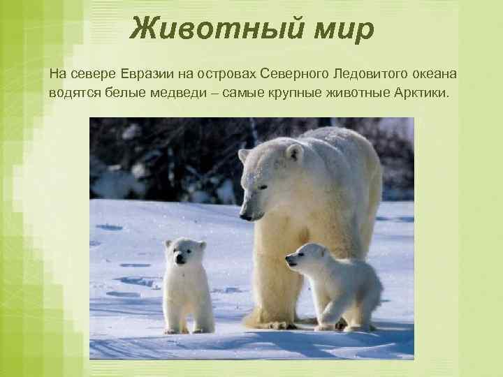 Животный мир На севере Евразии на островах Северного Ледовитого океана водятся белые медведи –