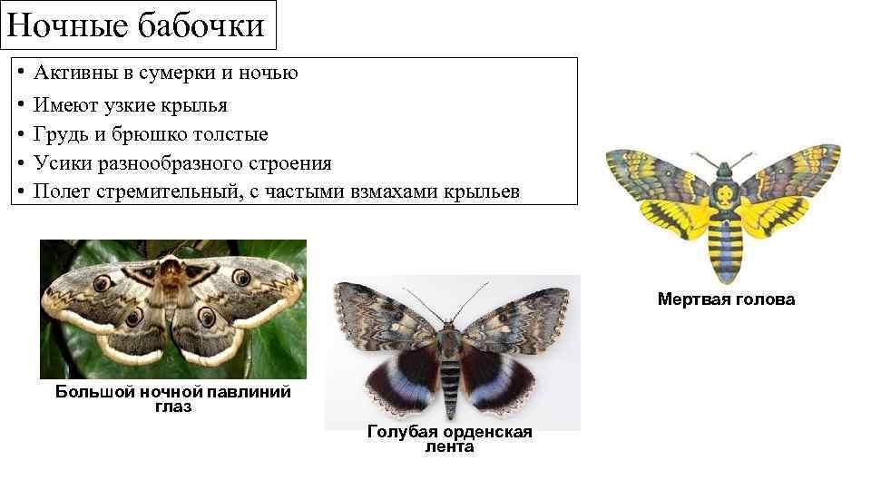 Ночные бабочки • • • Активны в сумерки и ночью Имеют узкие крылья Грудь
