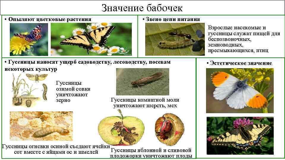 Значение бабочек • Опыляют цветковые растения • Звено цепи питания Взрослые насекомые и гусеницы