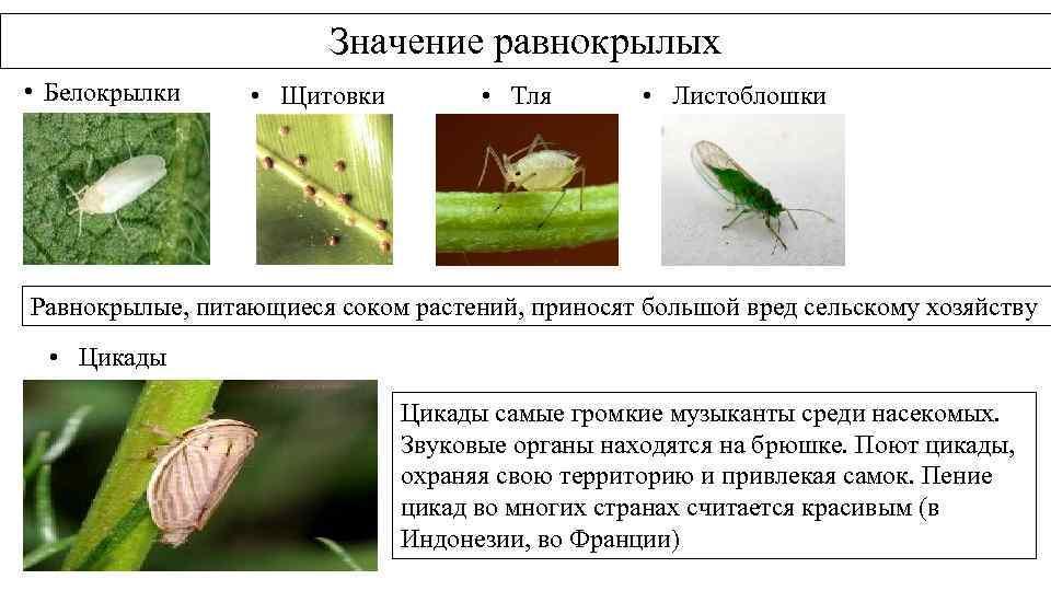 Значение равнокрылых • Белокрылки • Щитовки • Тля • Листоблошки Равнокрылые, питающиеся соком растений,