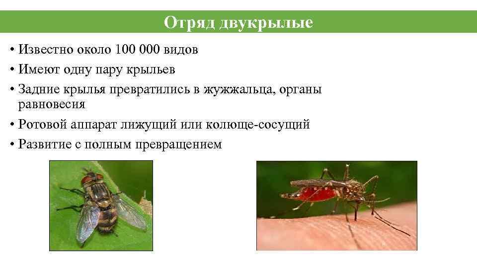 Отряд двукрылые • Известно около 100 000 видов • Имеют одну пару крыльев •