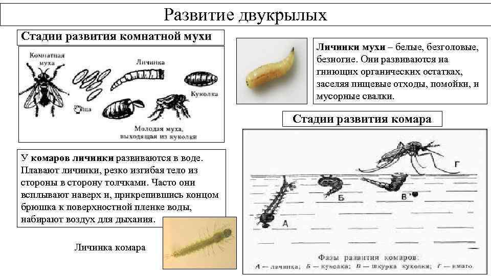 Развитие двукрылых Стадии развития комнатной мухи Личинки мухи – белые, безголовые, безногие. Они развиваются