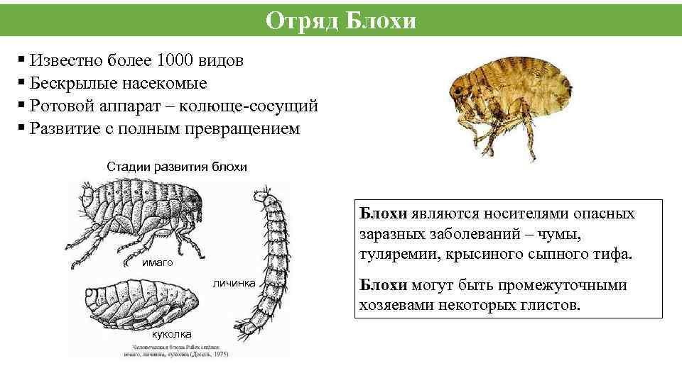 Отряд Блохи § Известно более 1000 видов § Бескрылые насекомые § Ротовой аппарат –