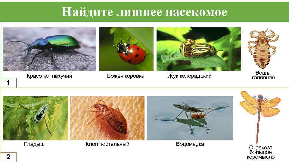 Найдите лишнее насекомое 1 Красотел пахучий Гладыш 2 Божья коровка Клоп постельный Жук колорадский