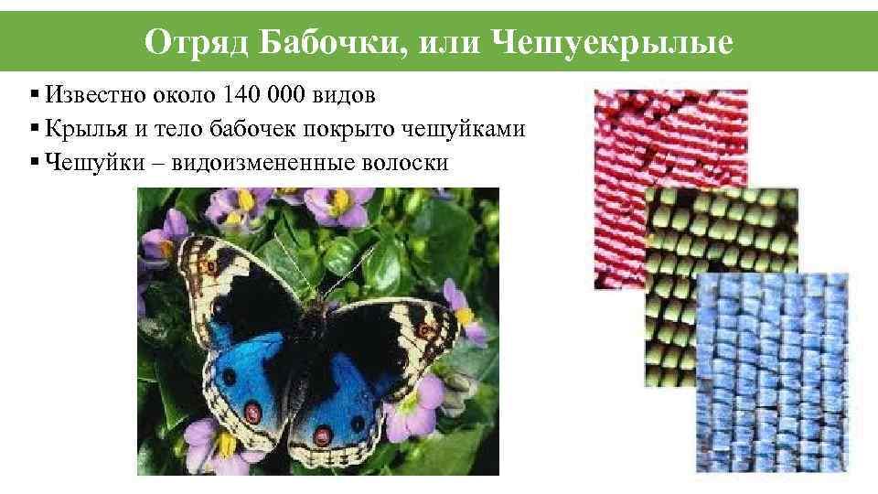 Отряд Бабочки, или Чешуекрылые § Известно около 140 000 видов § Крылья и тело