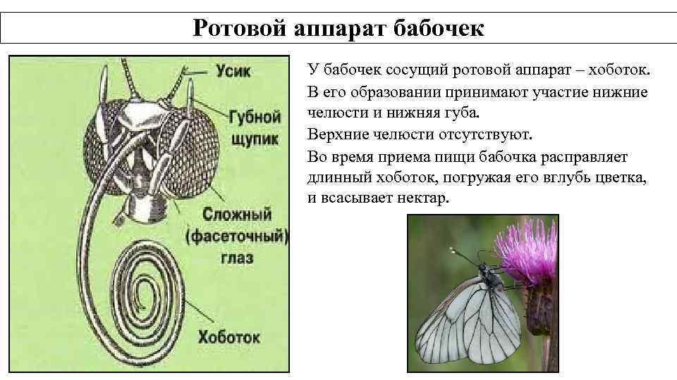 Ротовой аппарат бабочек У бабочек сосущий ротовой аппарат – хоботок. В его образовании принимают