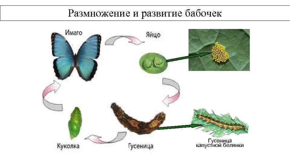 Размножение и развитие бабочек Гусеница капустной белянки