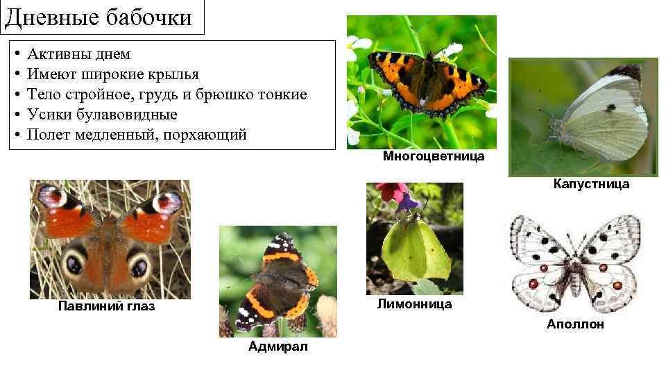 Дневные бабочки • • • Активны днем Имеют широкие крылья Тело стройное, грудь и