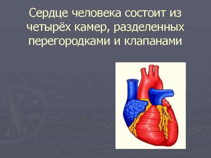 Сердце человека состоит из четырёх камер, разделенных перегородками и клапанами