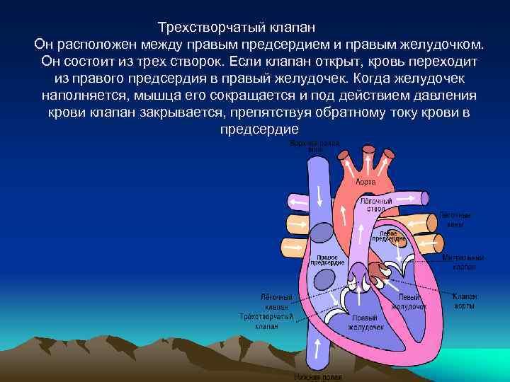 Трехстворчатый клапан Он расположен между правым предсердием и правым желудочком. Он состоит из трех